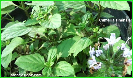 الشاي الاخضر او الشاي الياباني Camellia Sinensis نبات الزينة النبات معلومات نباتية وسمكية معلوماتية Plants Camellia
