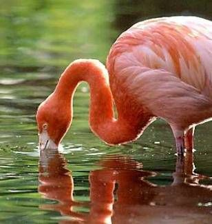 foto de Fotos de Flamingos