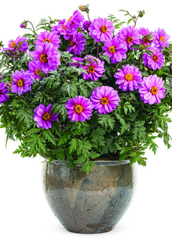 """New this year is Dahlightful Lively Lavender Dahlia--a plant that will grow all the way to 36"""" in height. Stunning in a large container in the landscape or on a corner of your deck."""