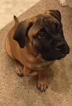 Petango.com – Meet T-Rex, a 5 months 12 days Bullmastiff available for adoption in COLORADO SPRINGS, CO