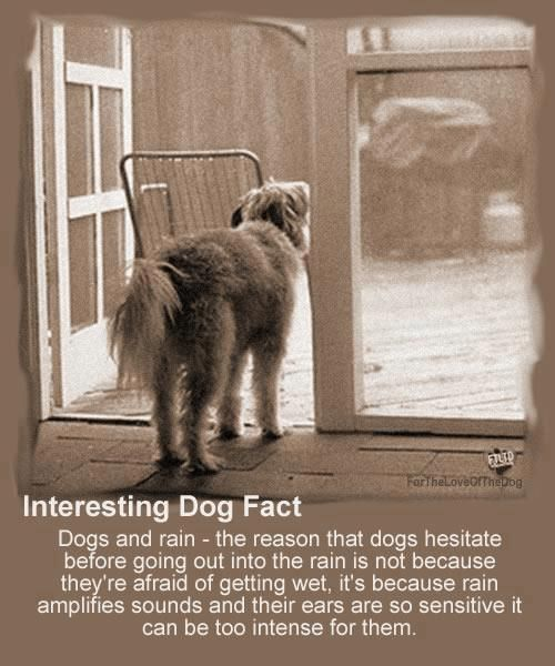 Did you know? Dogs hesitate to go out in the rain not because they dislike getting wet, but because the rain amplifies sounds and their ears are so sensitive that it can be too intense for them. Share and repin!:
