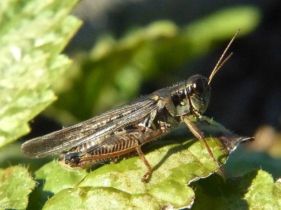 Photos d'Orthoptères : Criquets - Grillons - Sauterelles - Courtilières - Criquet - Grillon - Sauterelle - Courtilière - Crickets - Grasshoppers - Mole - Cricket - Grasshopper - Moles - Caelifera - Caelifères - Ensifera - Ensifères