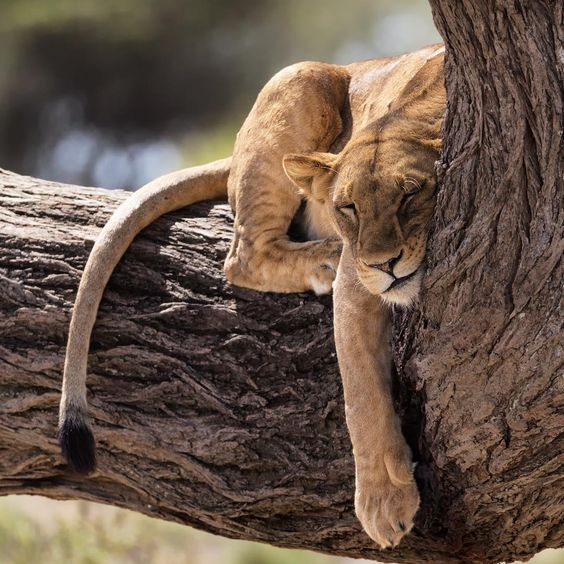 Sunday again? Have a great week my friends... . . . #ig_israel #lions #lion #safari #africanimals #wildlife