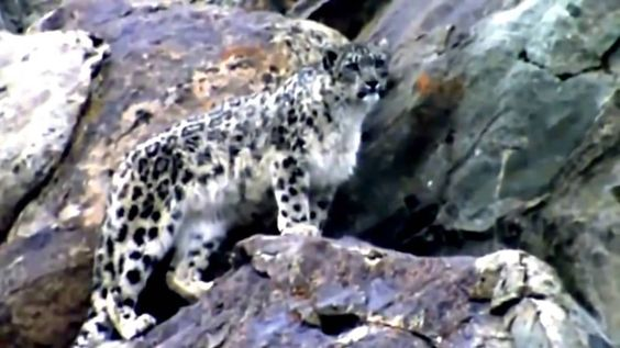 National Geographic Wild || The Snow Leopard Attacks Full Documentary HD