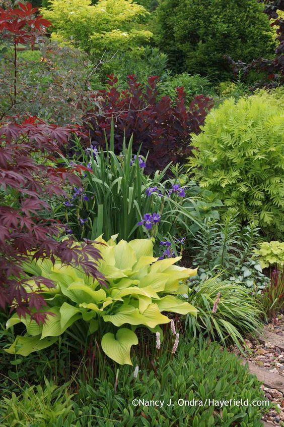'Sun Power' hosta with dwarf fleeceflower (Persicaria affine), Japanese maple (Acer palmatum), 'Gerald Darby' iris (Iris x robusta), blueleaf rose (Rosa glauca), 'Royal Purple' smokebush (Cotinus coggygria), 'Isla Gold' tansy (Tanacetum vulgare), and 'Beni-kaze' Hakone grass (Hakonechloa macra) at Hayefield