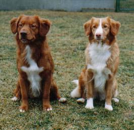 One Day I Will Have A Nova Scotian Duck Tolling Retriever