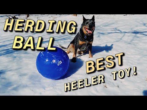 I Bought My Blue Heeler A Herding Ball Youtube Blue Heeler
