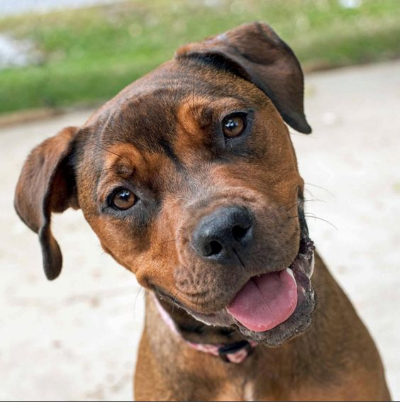 Puppy eyes at the Humane Society of Indianapolis Dog Park - Indianapolis, IN - Angus Off-Leash #dogs #puppies #cutedogs #dogparks #indianapolis #indiana #angusoffleash: