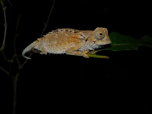 10 Extraordinary Looking Madagascan Creatures ~ Spiny Leaf Chameleon