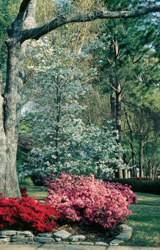 Native understory trees oklahoma 15 20 feet serviceberry redbud white fringe tree flowering - Romanian cherry tree varieties ...