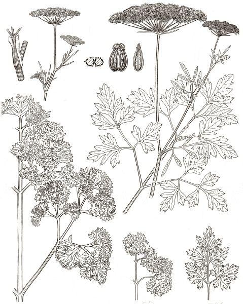 petroselinum - https://sites.google.com/site/kruidwis/kruiden-a/petroselinum-peterselie