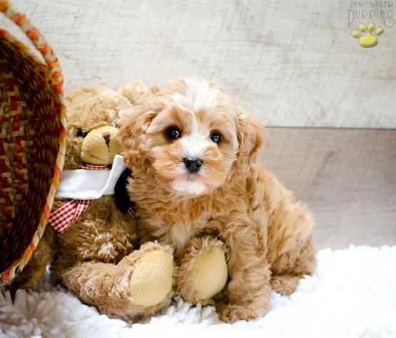 Henri Cavapoo Puppy For Sale In Canton Oh Lancaster Puppies Cavapoo Puppies Lancaster Puppies Puppies For Sale