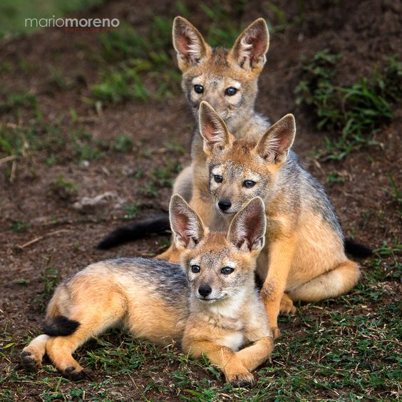 Family Portrait by Mario Moreno on 500px A portrait of three Black-Backed Jackal pups outside their den looking at their mother who was vigilant just a few meters away.