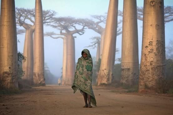 """Near the city of Morondava, on the West coast of Madagascar lies an ancient forest of Baobab trees. Unique to Madagascar, the endemic species is sacred to the Malagasy people, and rightly so.   Walking amongst these giants is like nothing else on this planet. Some of the trees here are over a thousand years old. It is a spiritual place, almost magical.""   By Ken Thorne/National Geographic"