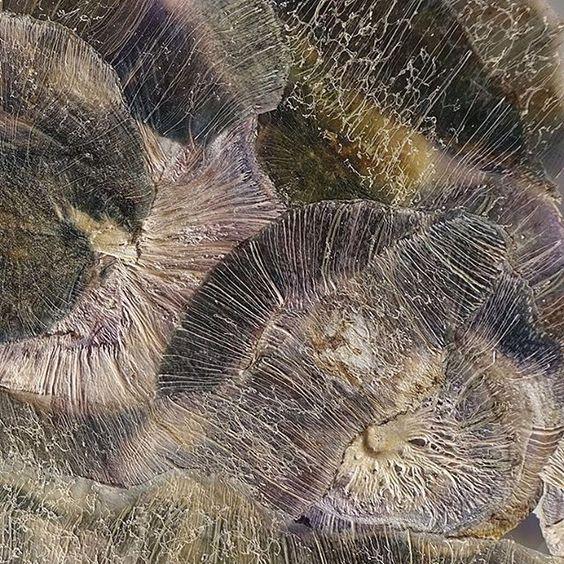 Paarse koolrabi. Niet de buitenkant maar de binnenzijde van de gedroogde schillen gefotografeerd. Wat een mooi patroon van de vezels wordt er zichtbaar! Trefwoorden: angeliquevandervalk, vegetableworks, vegetable, art, kunst, eco, koolrabi, turnipcabbage, afval, vegan, photography, cradle2cradle, veggie, organic, material, waste.