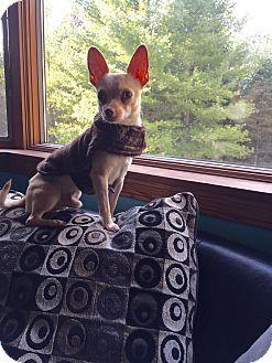 Grand Ledge, MI - Chihuahua Mix. Meet Abracadabra, a dog for adoption. http://www.adoptapet.com/pet/15152006-grand-ledge-michigan-chihuahua-mix