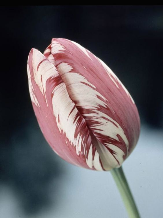 Dutch Treat: When Should I Plant Tulips?