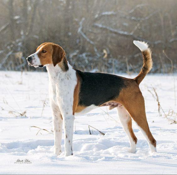 American Fox Hound dog photo | American Foxhound