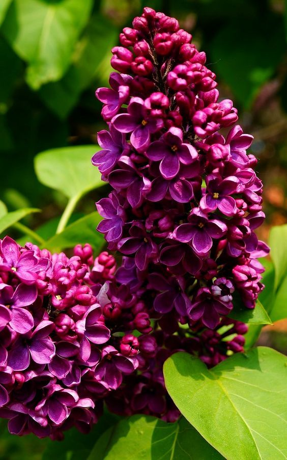 Idea By Yanitsa D On Spring Spring Flowers Photography Lilac Tree Flowering Bushes