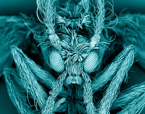Moth fly (Psychodidae)  Kevin Mackenzie, University of Aberdeen This false-coloured scanning electron micrograph shows a moth fly (Psychodidae), also known as a drain fly. As its name suggests, the fly's larvae commonly live and grow in domestic drains Esta falsa cor de micrografia eletrônica de varredura mostra uma mosca-traça (Psychodidae), também conhecido como uma mosca de  ralo. Como o próprio nome sugere, as larvas da mosca sao comuns em esgotos domésticos.