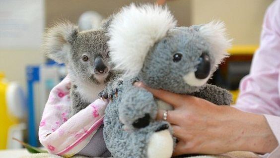 Shayne el koala encontró en un peluche el consuelo tras las muerte de su madre
