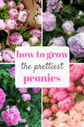 An easy guide to growing peonies! Indoors and out!  Gardening, Growing Peonies, How to Grow Peonies: