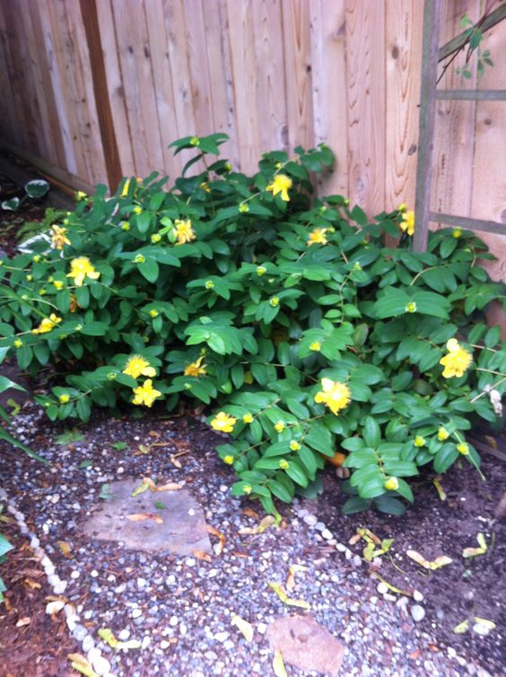 Pinterest the worlds catalog of ideas anyone know what this plant is called pretty yellow flowers perennial spreads quickly mightylinksfo