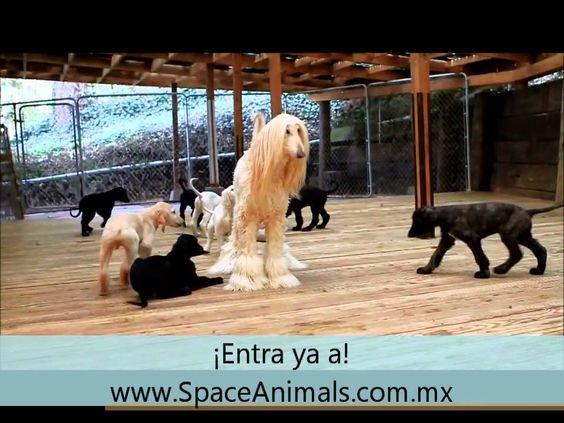 Venta de cachorros perros de raza Galgo afgano spaceanimals