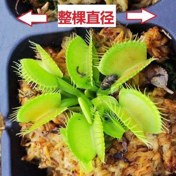 PROMOTION Potted Insectivorous Plant Seeds Dionaea Muscipula Giant Clip Venus Flytrap Seeds 20pcs