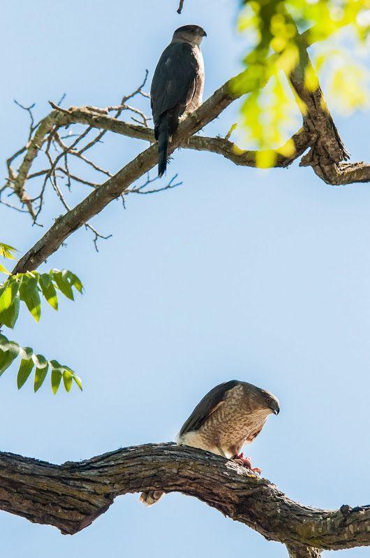 Jim Dehnert Coopers Hawks, Accipiter cooperii; Palo Alto, California