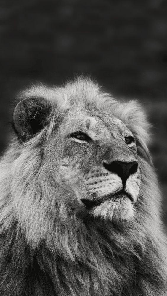 Iphone Wallpaper Black And White Lion Iphone Wallpaper Ausgestopftes Tier Iphone Hintergrundbild Katze Lowe Hintergrundbild