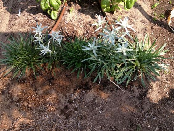 Edelweiss growing in my garden - started from seed!