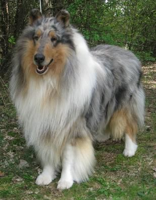 Rough Collie, lovely Blue Merle