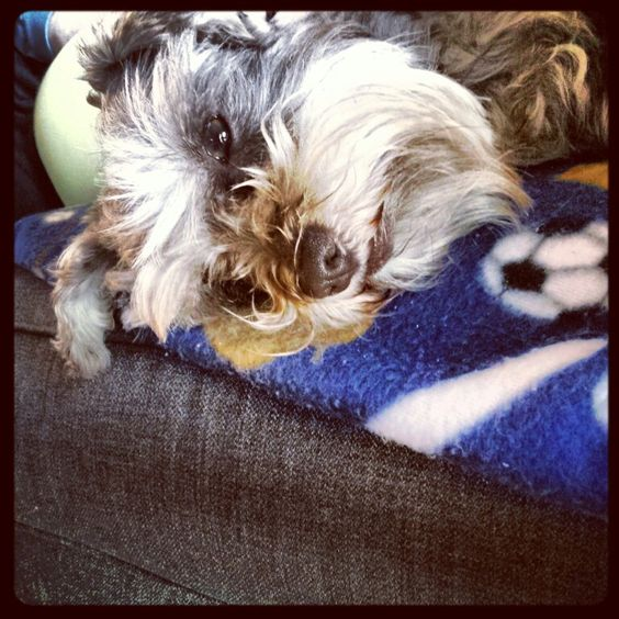 Some little schnauzer is sad his favorite soccer team Manchester United lost.