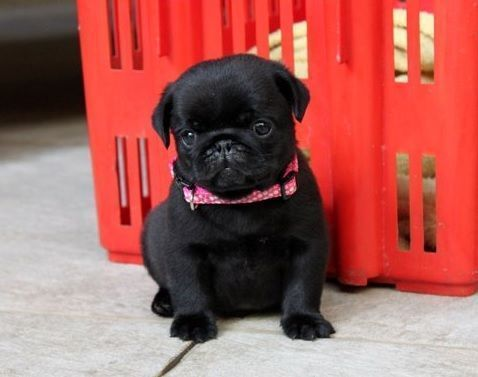 Cute Black Pug Puppy I M Addicted To Pugs I Think I Have A