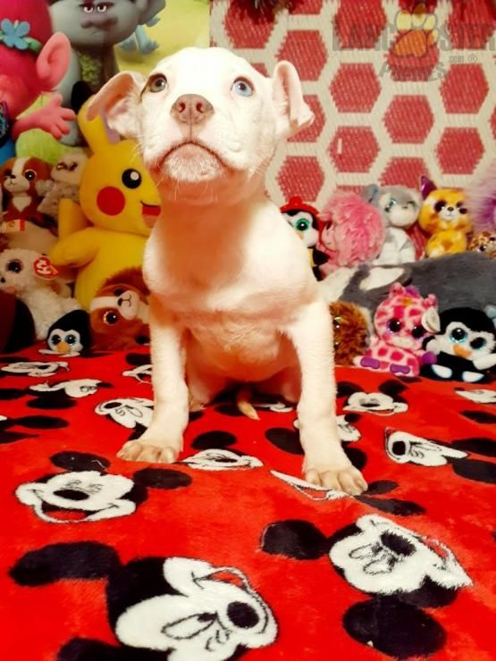 Blue Eye American Bulldog Puppy For Sale In Rochester Ny In 2020 Bulldog Puppies For Sale