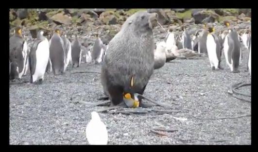 VIDEO: Captan a focas violando pingüinos