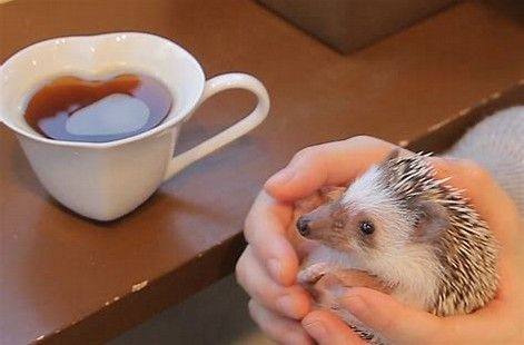 Image result for hedgehog cafe japan