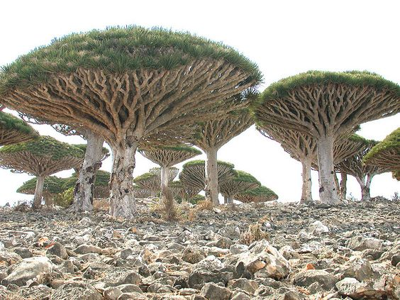 Dracaena cinnabari, the Socotra Dragon Tree, Socotra archipelago in the Indian Ocean.