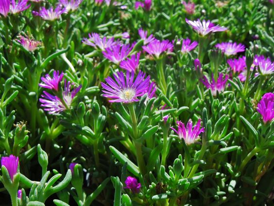 """""""Starburst"""" Ice Plant - These are wonderful, easy to care plants that spread very well and only stay about 4-6"""" high. They bloom from about June-August in Colorado Zones 5-8."""