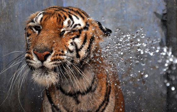 Una tigre del Bengala nello zoo Birsa Munda di Rachi, in India.