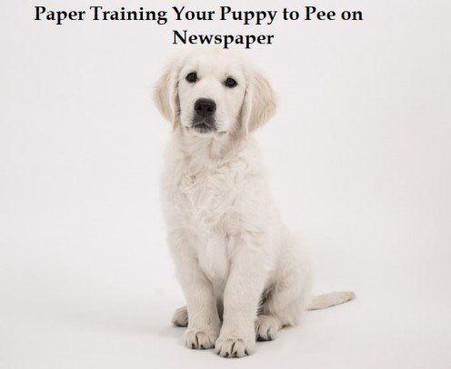 Paper Training Your Puppy To Pee On Newspaper Paper Train