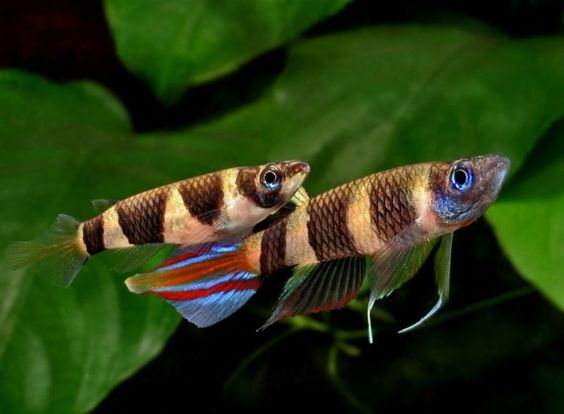 Clown Killifish, For Sale | Fish | Gumtree Australia Toowoomba Surrounds - Southbrook | 1058418206