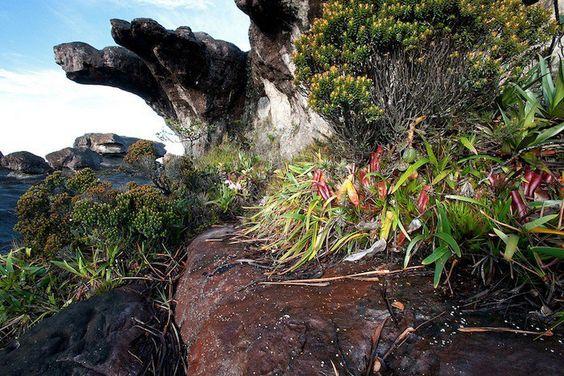 Les Heliamporas sont des plantes carnivores de la famille des Sarracéniacées vivant en amérique du sud