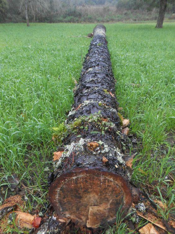 Flagrante ocorreu em pleno Dia Mundial do Meio Ambiente. Espécie nativa do Paraná é ameaçada de extinção