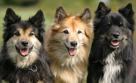 Islandhund.de