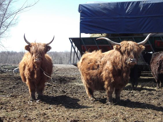 vache highland, highland cow,  ferme les 4 Générations