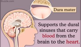 Construction and Purposes of the Dura Mater