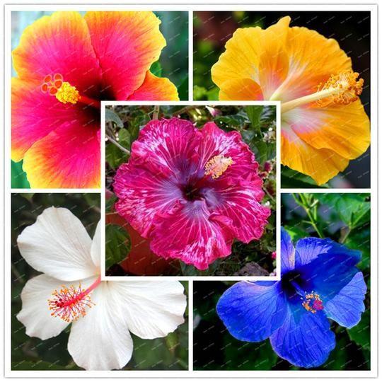 200 Hibiscus Flower Seeds Mixed Different Colors Diy Home And Garden Garden Yard Goddess In 2020 Flower Seeds Hibiscus Plant Hibiscus Flowers