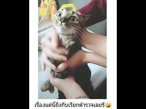 แมวโดนจ บอาบน ำถ งก บเร ยกตำรวจ Youtube ตลก